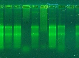 Messenger RNA Isolation